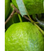 Guava fruit - Nervous Relaxant