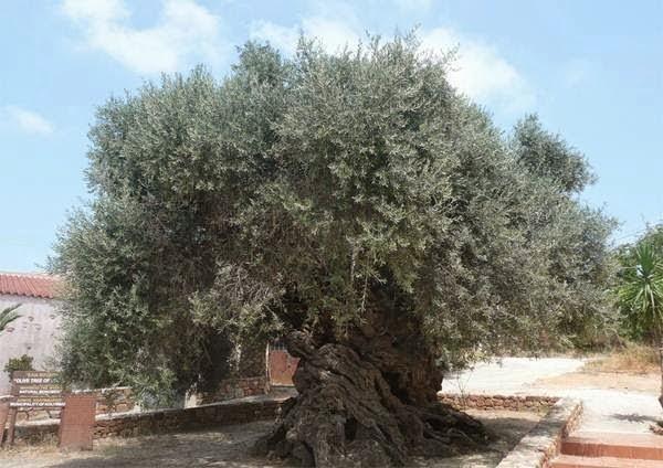 Pomnik Przyrody, Sędziwe drzewo oliwne. Grecja.