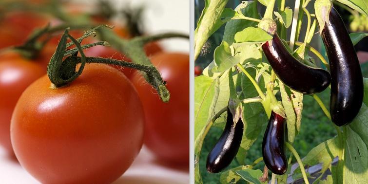 Tomaten, Auberginen - Freuden eines Landhausgartens
