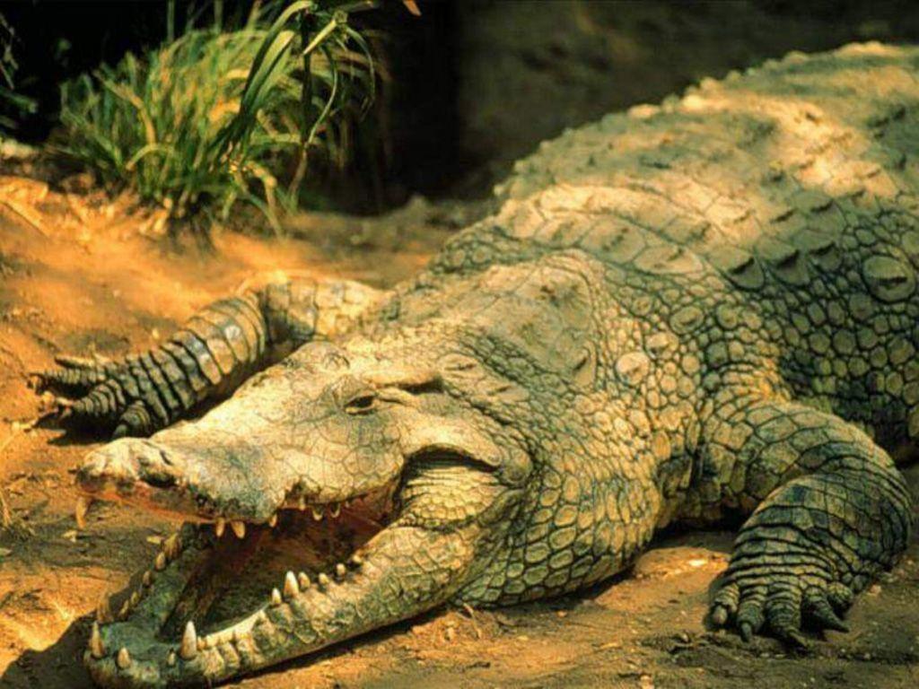 Crocodile and Alligator Wallpapers, animal wallpapers