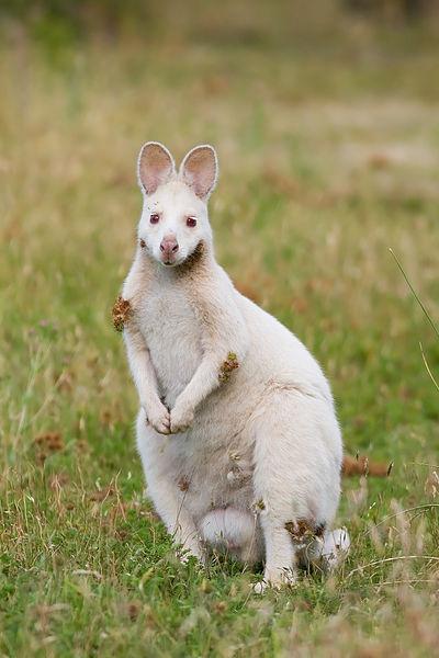 Mammals Animals: Albino Macropus rufogriseus rufogriseus