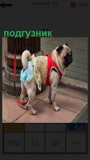 одет подгузник на собаку с ошейником на поводке
