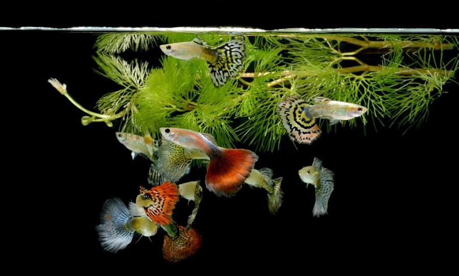 Ikan Guppy - Ikan Hias yang Kuat Hidup Tanpa Oksigen
