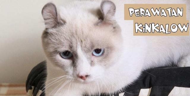 Perawatan Kucing Kinkalow