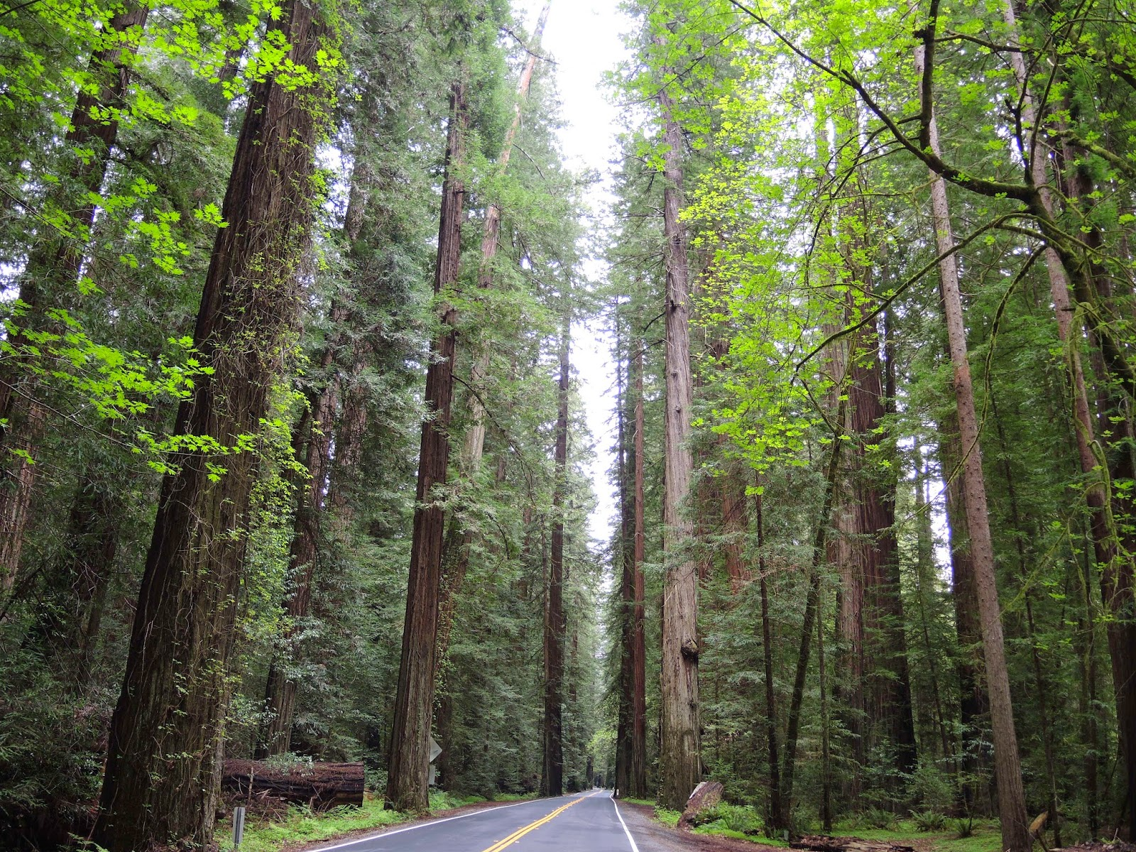 2014 Spring break 美國西岸自駕行程: Redwood national park 紅木國家公園