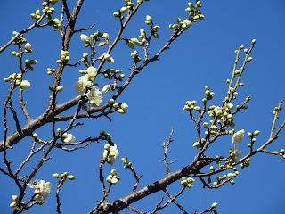 初春の梅開花状況<2.4時点>