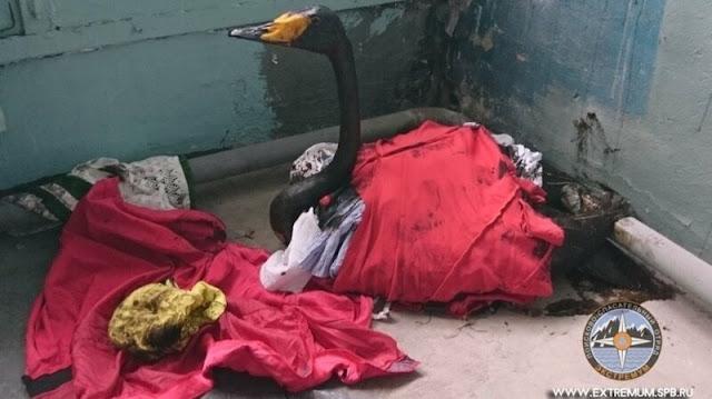 Петербуржцы спасают белых лебедей, попавших в мазут!