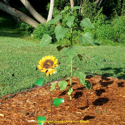 The Last Sunflower of Summer photographed September 15, 2013