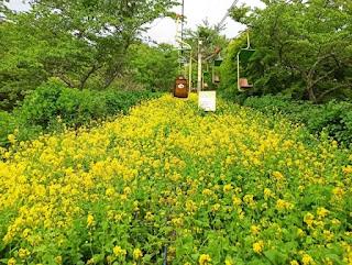 菜の花咲くリフト