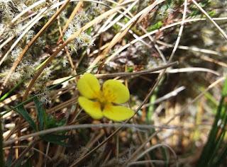 Tormentil wild flower Leitrim