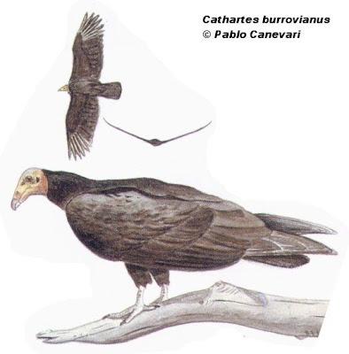 Jote cabeza amarilla Cathartes burrovianus