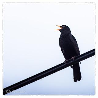 Tátott szájjal éneklő fekete rigó hím
