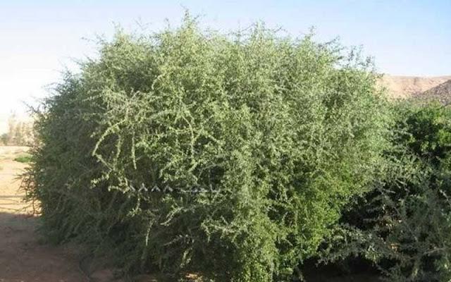 Sejarah Pohon Gorgot, Tempat Berlindungnya Kaum Yahudi Saat akan Kiamat