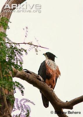 Águila azor vientre rojo Lophotriorchis kieneri