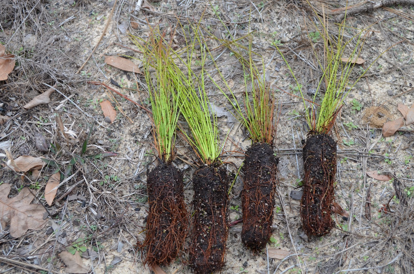 Journals Of An Amateur Naturalist Longleaf Pine Project