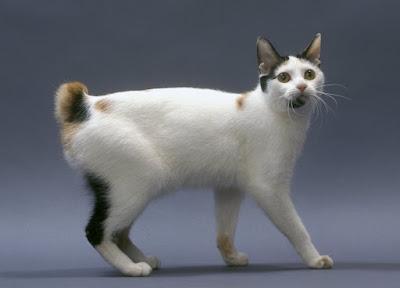Jenis Ras Kucing Korean Bobtail
