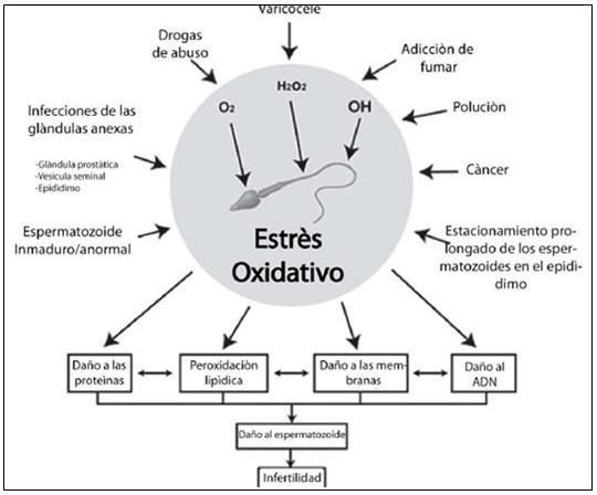 Espermatozoides in vitro: EFECTO DEL TABACO SOBRE LA FRAGMENTACIÓN ...
