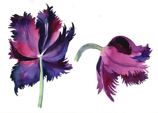 Black Parrot tulip, watercolor, Olga Begak, botanical illustration, flower, artist