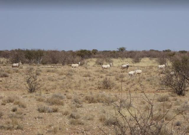 Antilopi bianche al Lapa Lange