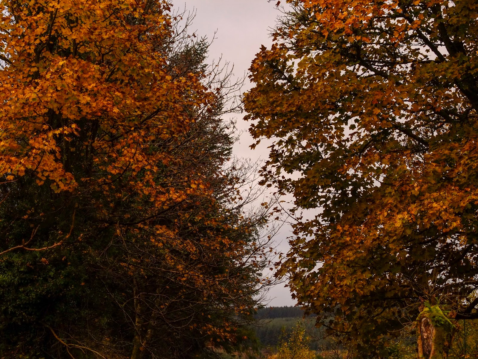 Golden brown Maple tree leaves in North County Cork.