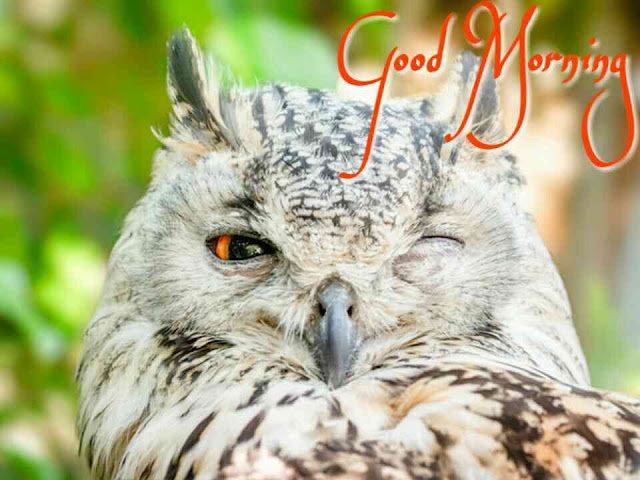 Owl - Burung Hantu good morning image