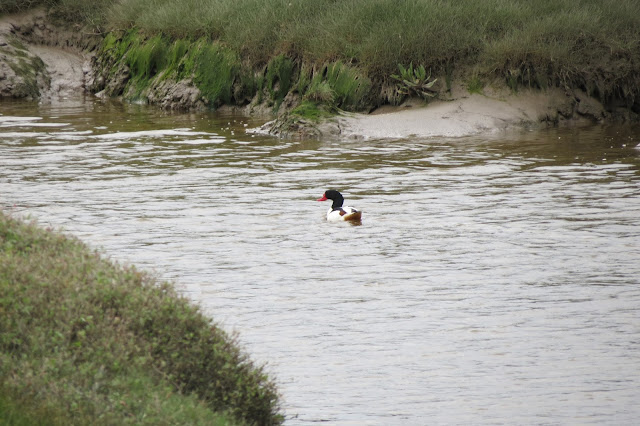 A picture of a shelduck sitting in water in one of the channels.