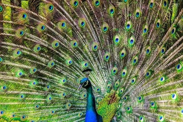 Burung Merak Hanya Cantik Karena Warna Bulunya ? Masa Sih!