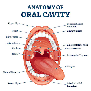 anatomy oral cavity