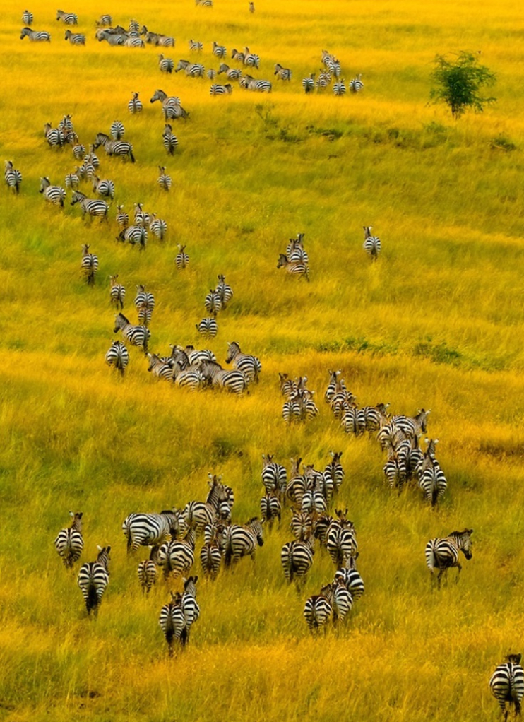 herd of zebra on the move, Masai Mara National Reserve, Kenya