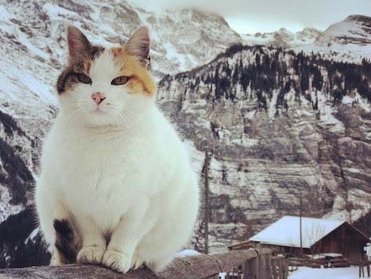 Cats from Gimmelwald {Switzerland}