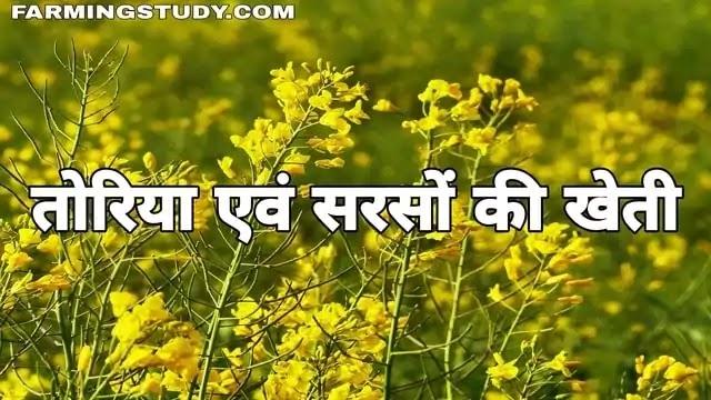 तोरिया एवं सरसों की खेती कैसे करें? | sarso ki kheti kaise kare?, तोरिया की खेती कैसे करें?, सरसों की खेती, काली सरसों की खेती, पीली सरसों की खेती,