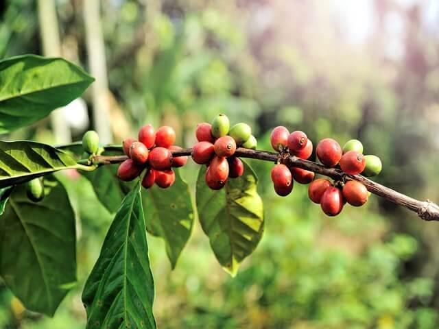 Giá cà phê hôm nay 21/7: Tăng trở lại tại các địa phương trọng điểm