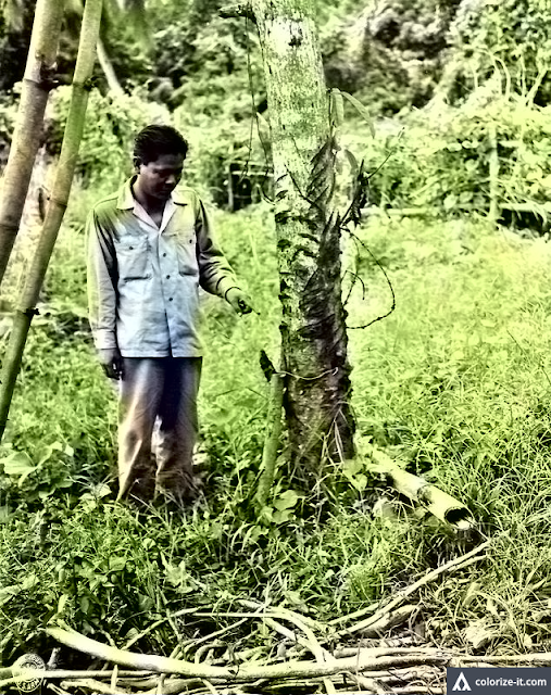 Survivor points at tree to which he was tied by the Japanese in Santo Tomas, 1945.  Image source:  United States National Archives.