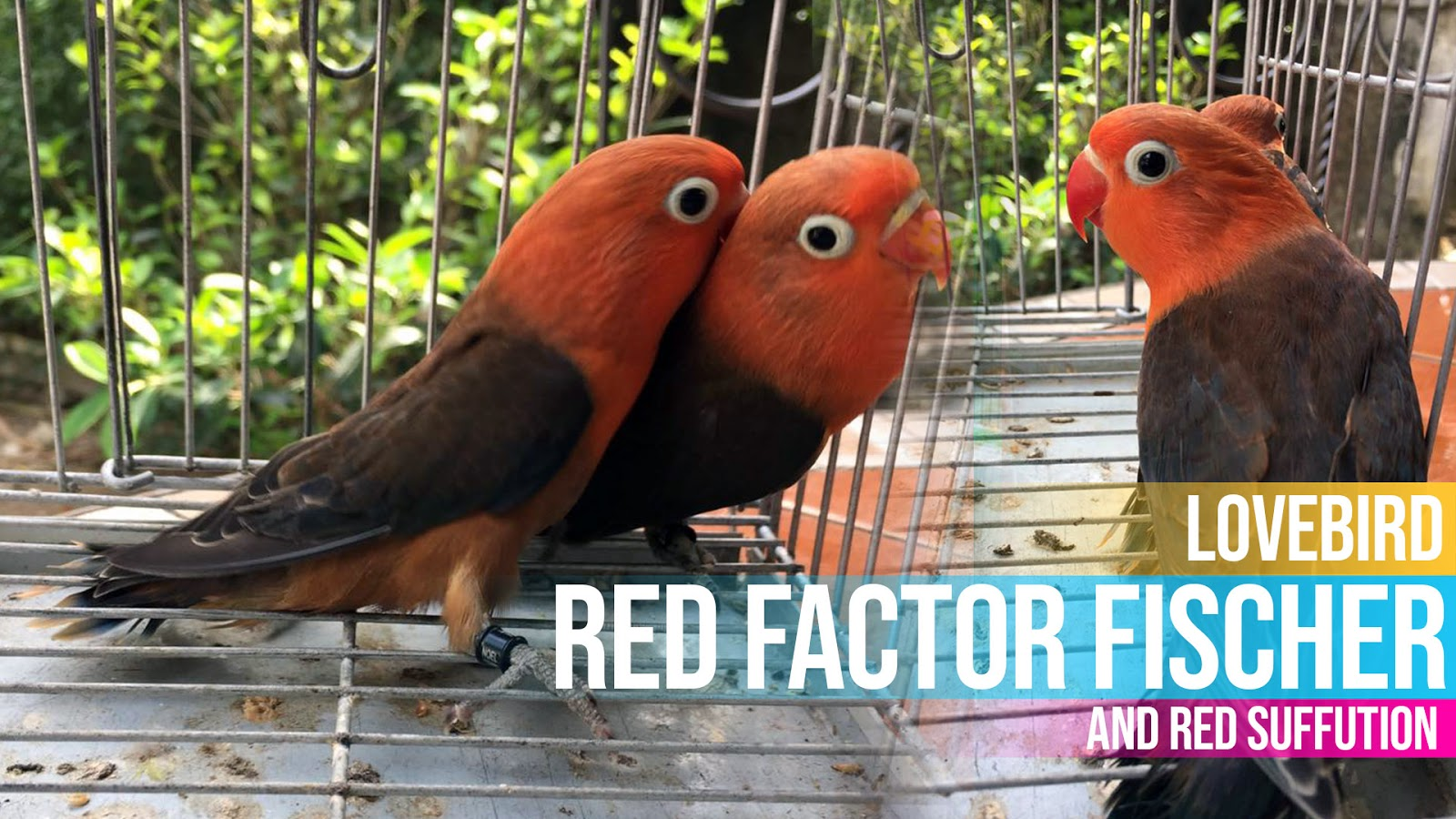 Lovebird Red Factor Fischer Differs From Red Suffution Lovebird Breeding Tips And Mutations Guide