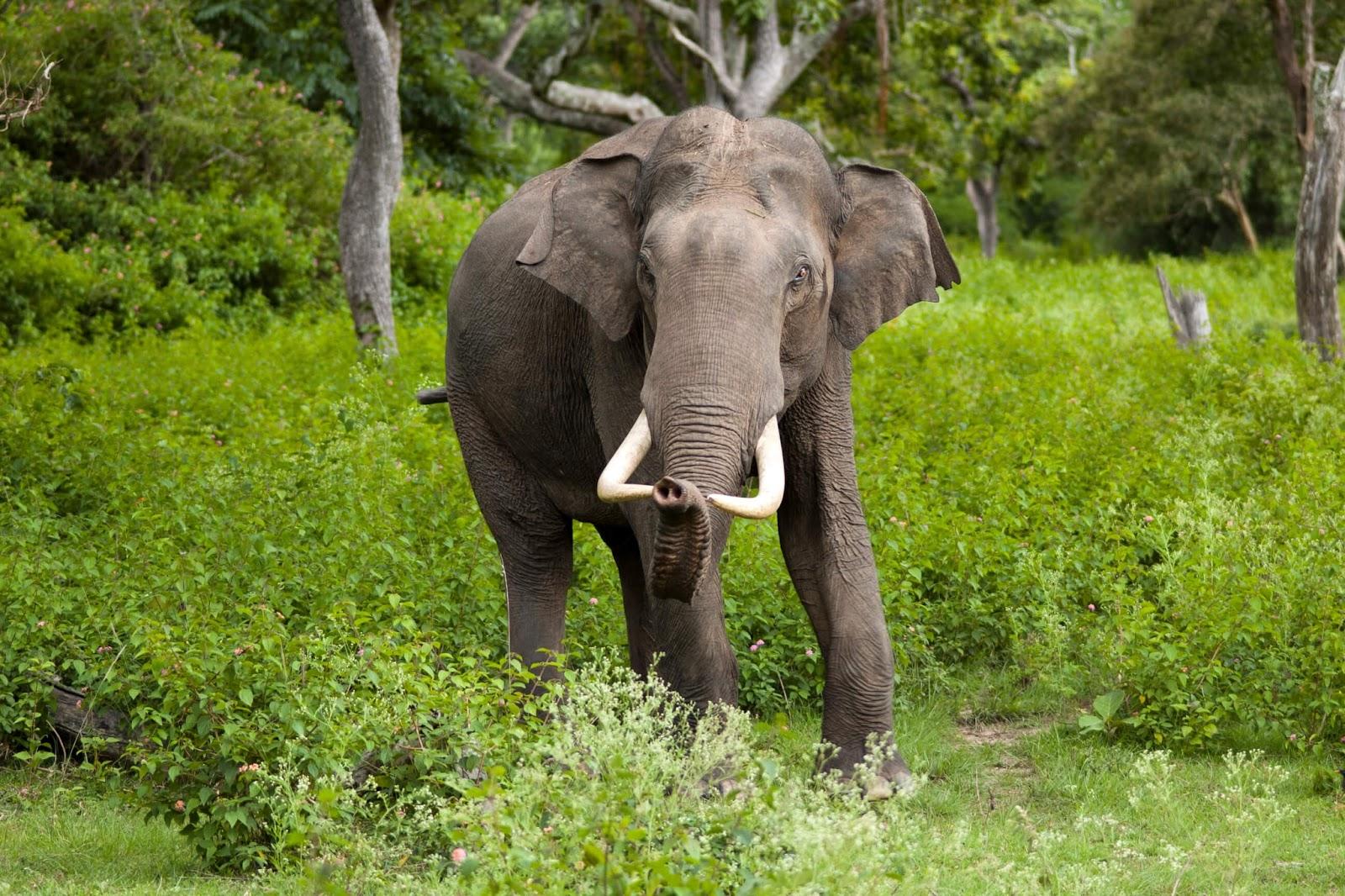 Karnataka state symbols seal of karnataka state animal asian elephant elephas maximus biocorpaavc Image collections
