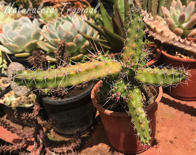Vista de los tallos del cactus Echinocereus pentalophus