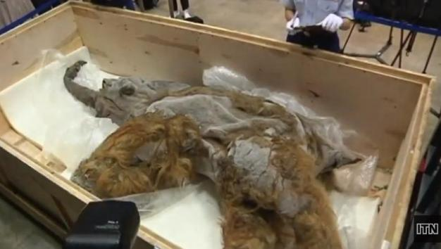 39,000-year-old woolly mammoth on display in Japan