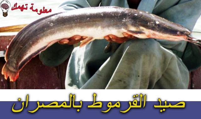 صيد القرموط بالمصران
