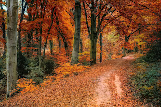 Maple trees with orange leaves on a forest lane strewn with fallen orange foliage.