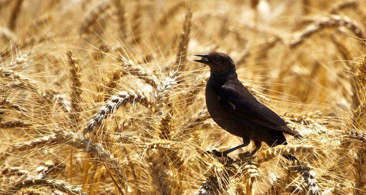 Cara Agar Sawah Terhindar dari Burung