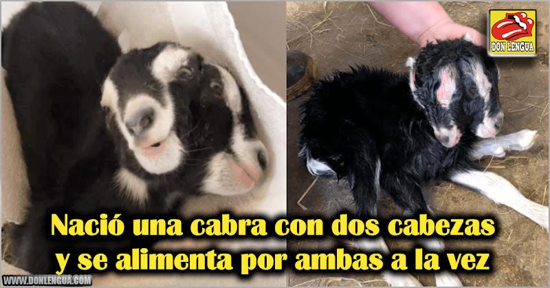 Nació una cabra con dos cabezas y se alimenta por ambas
