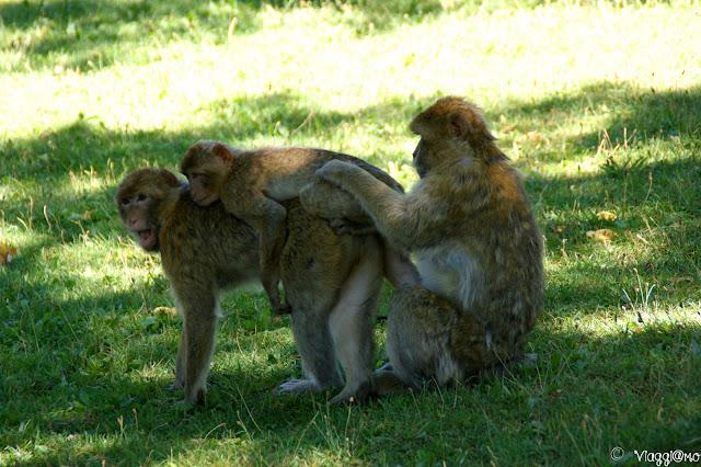 Una famiglia di macachi di Barbarie nella Foret de Singes di Rocamadour