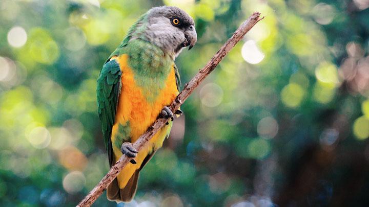 Poicephalus Parrots
