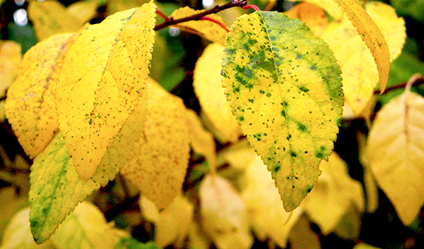 yellow plum leaves with small green and red spots