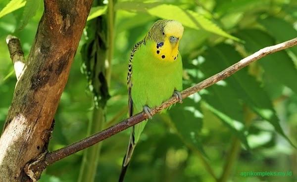 Cara Ternak Burung Parkit dan Tips Agar Menjadi Jinak