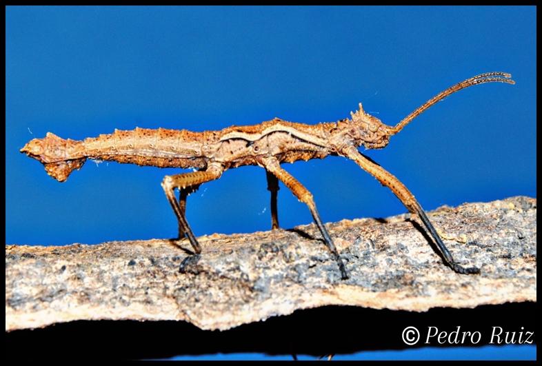 Ninfa macho L5 de Dares philippinensis, 3,2 cm de longitud