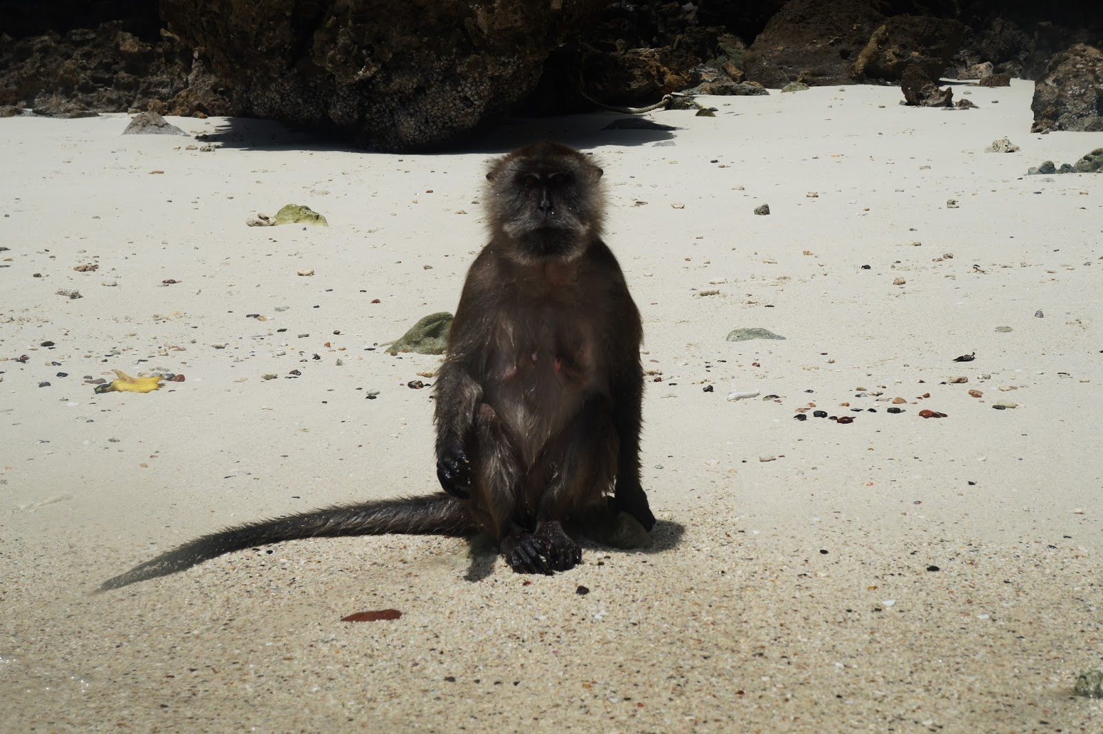 monkey beach, monkey on koh phi phi don
