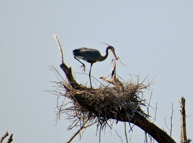 Checking In On The Heron Rookery