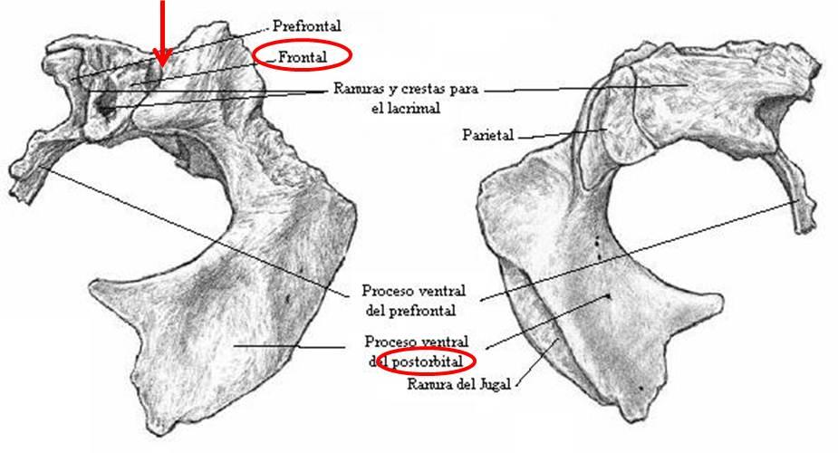 Huesos del craneo yahoo dating