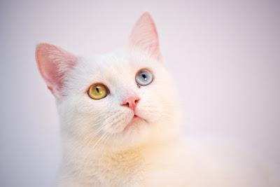 قطط الانجورا التركية : Turkish Angora